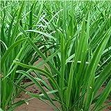 200 Chinois Ciboulette Non génétiquement modifiées Graines Vert Biologique